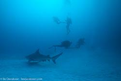 BD-101205-Playa-del-Carmen-2625-Carcharhinus-leucas-(Müller---Henle.-1839)-[Bull-shark.-Tjurhaj].jpg